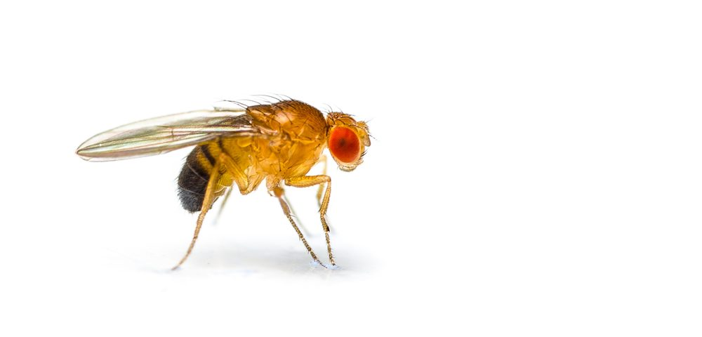 Scientists Develop First Fruit Fly Model for Studying Sanfilippo Syndrome