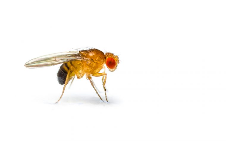 fruit fly model